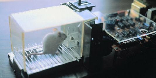 Un rat de laboratoire. | GAMMA/MIMI FORSYTH